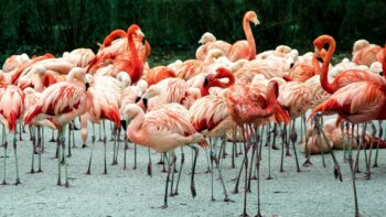 yucatan-flamingos-flock